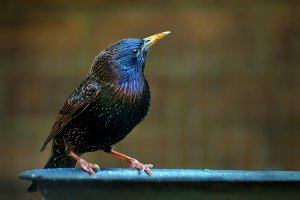 Starling - male