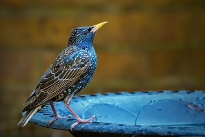 Starling - female