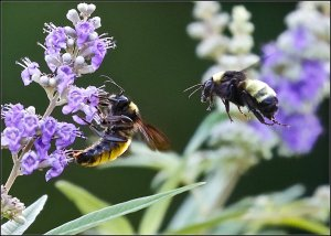 American Bumblebees (male and female)