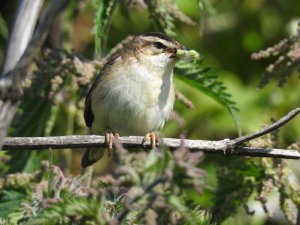Sedge Warbler with lunch
