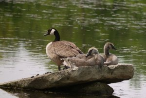 Canadian Goose with babies