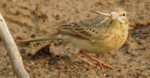 Tawny Pipit With Catch