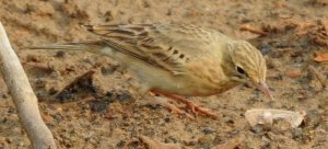 Tawny Pipit catching moth