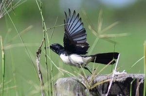 Willie Wagtail takes flight
