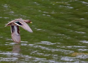 Yellow-billed Teal (male)