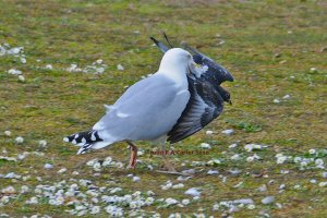 Gull - pigeon fight