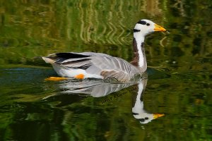 Bar headed goose near reeds