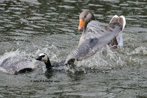 Greylag attacks Barnacle goose and gosling