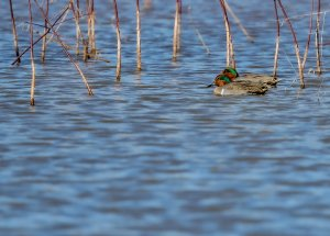 Green-winged Teal (males)