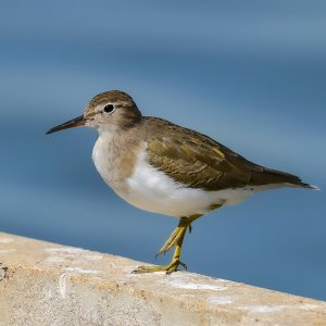 Spotted Sandpiper (nonbreeding plumage)