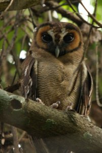 Indian Brown Wood Owl