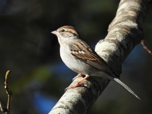 Chipping Sparrow 3.jpg