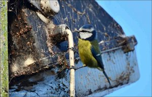 Old Boat Yard Lamp is being checked by this Blue Tit