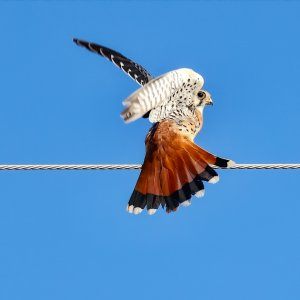 American Kestrel (male).jpg