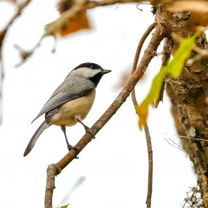 Carolina Chickadee.jpg