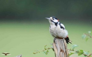 Great Spotted Woodpecker .jpg