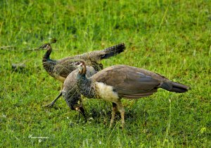Peahen and her sub-adult chicks