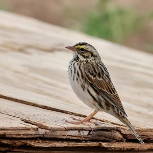 Savannah Sparrow, Tritex, Bryan.jpg
