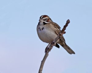 Lark Sparrow.jpeg