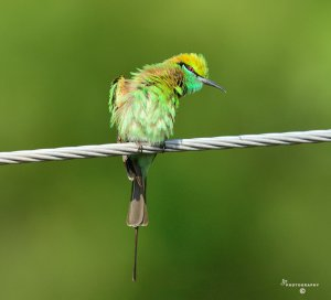 One young Bee-eater scrutinizing me..2