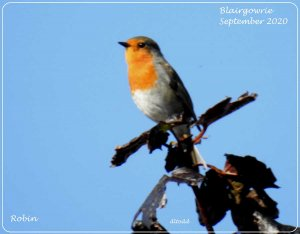 Red in the blue (European Robin)
