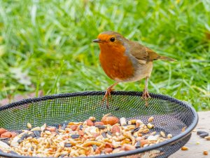 One of the new resident Robins enjoying the new feeding station