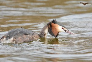 Great Crested Grebe 2015.jpg