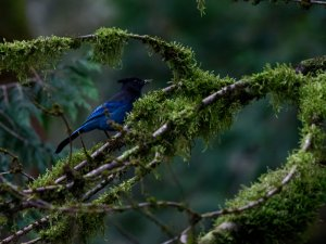 Steller's Jay among mossy branches