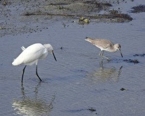 From left to right the Snowy Egret and a Willet in winter plumage.