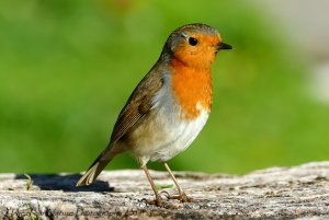 Our beloved Robin The Redbreast.jpg