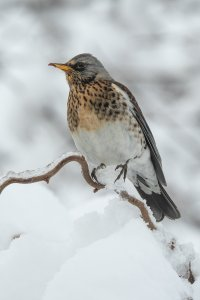Greedy fieldfare