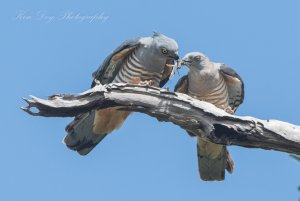 Pacific Baza ( Sharing is caring )