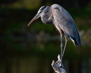 Great blue heron posed like a statue