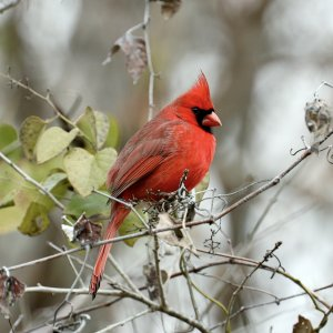 Northern Cardinal (male).jpeg