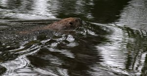 Ripples and a Beaver