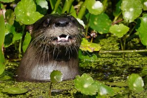 River otter popping up to eat