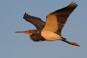 Tricolored heron sunset flight