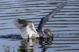 Tricolored heron fishing attack