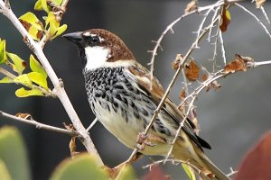 Spanish Sparrow 'hispaniolensis' race