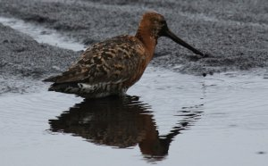 Black-tailed Godwit in the rain