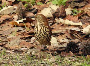 Brown Thrasher.jpg