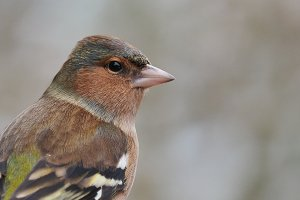 chaffinch (portrait)