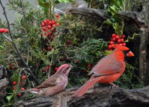 Northern Cardinal, & Purple Finch, males