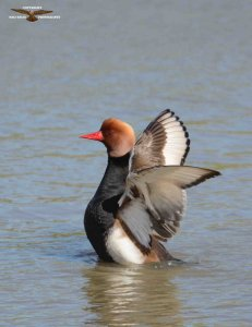 Red Crested Pochard 0131.jpg