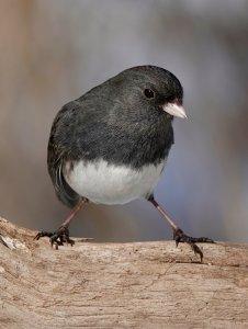 www.birdforum.net