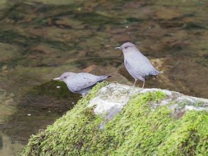 Pair of American Dippers