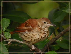 Brown Thrasher in the Horse Sugar Tree