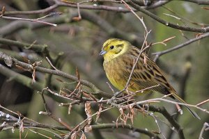 A male Yellowhammer