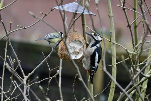 Great Spotted Woodpecker + Blue Tit