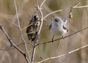 Blue-Gray Gnatcatcher.jpg
